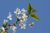 Cherry branch with spring flowers — Stock Photo