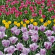 Field of tulips — Stock Photo #4697055