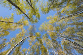 Looking up in birch forest — Stock Photo