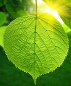 Zelený list a slunečního záření — Stock fotografie