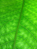 Green leaf texture — Foto Stock