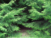 Branches of a pine — Stock Photo