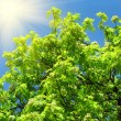 Green tree and sunlight on a blue sky background — Stock Photo