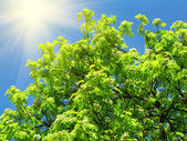 Green tree and sunlight on a blue sky background — Stok fotoğraf
