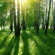 Stock Photo: Birch trees and sun