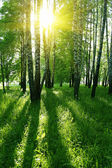 Birch trees and sun — Stock Photo