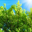 Green tree and sunlight on a blue sky background - Stock Photo