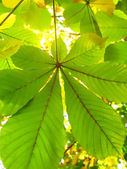 Autumn leaves of a chestnut — Stock Photo