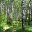 Road in a birch forest — Stock Photo