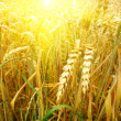 Grain field and sunny day — Stock Photo #4927655