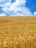 Grain field — Stock Photo