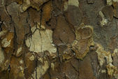 Bark of sycamore tree — Stock Photo