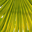 Palm Tree Fan Leaf - Stock Photo