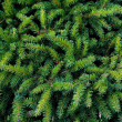Green fir texture — Stock Photo