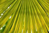 Palm Tree Fan Leaf — Stock Photo