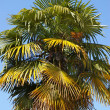Old fan palm tree — Stock Photo