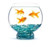 Pez dorado en acuario — Foto de Stock