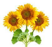 The beautiful sunflower — Stock Photo