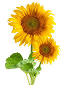 The beautiful sunflower — Stock Photo