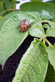 Colorado potato beetle — Stock Photo