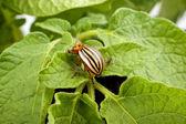 Escarabajo de patata de colorado — Foto de Stock