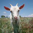 Stock Photo: Young goat looking for a fresh grass