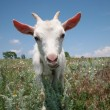 Young goat looking for a fresh grass - Stock Photo