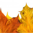 Stock Photo: Autumn leafs as frame