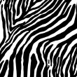Zebra pattern — Stock Photo #4081165