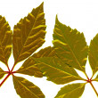 Isolated golden leafs — Stock Photo