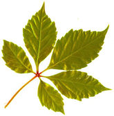 Golden leaf of tree isolated — Stock Photo