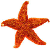 Red starfish close up — Stock Photo