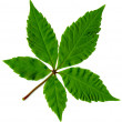 Leaf of tree isolated - Stock Photo