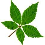 Leaf of tree isolated — Stock Photo #4528864