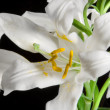 lily on black — Stock Photo