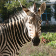 Zebra portret — Stock Photo #5012433
