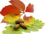 Acorn over color autumn leafs — Stock Photo