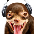 Ridiculous dog DJ. — Stock Photo
