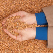 Crop wheat - Stock Photo