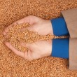 Crop wheat — Foto de Stock