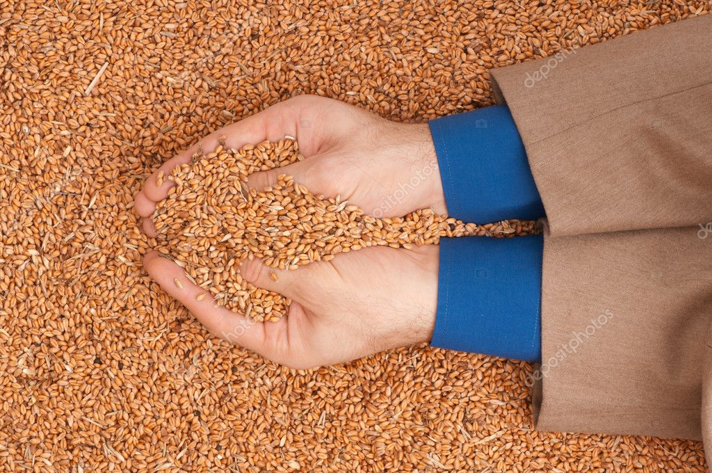 The businessman holds the grain for evaluating quality of the crop wheat  Stock Photo #4013547