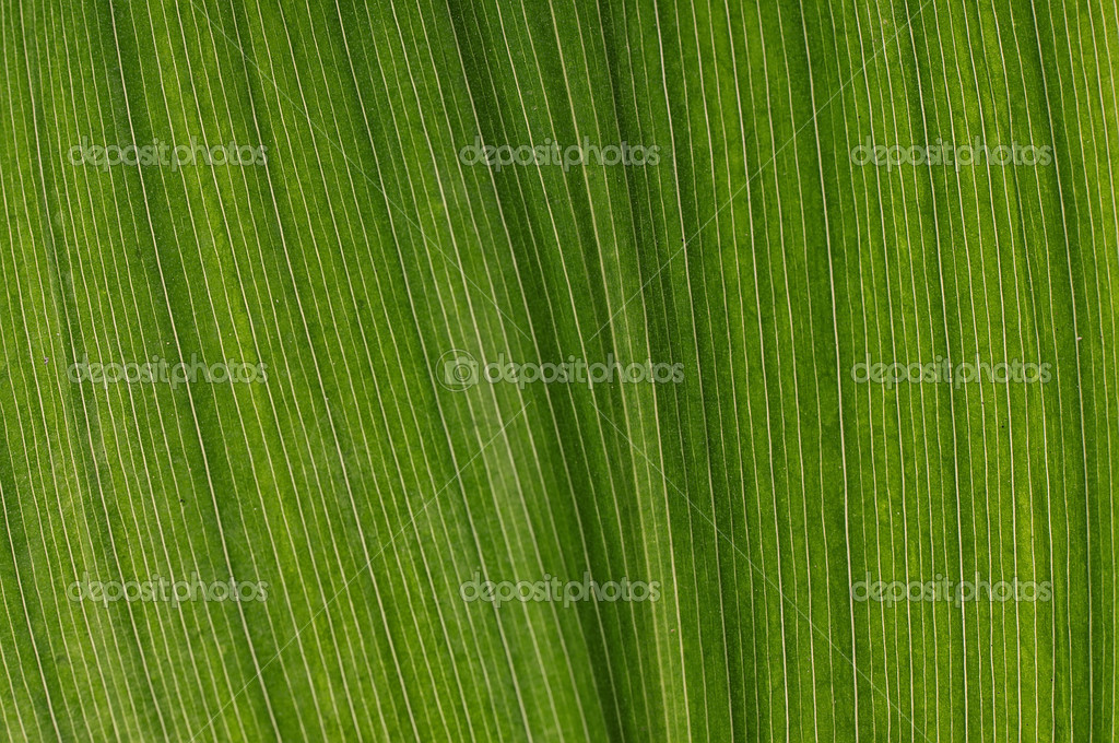 Green leaf of lily of the valley — Stock Photo #4099484
