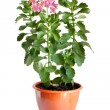Green home plant with pink flowers in flower pot - Stock Photo