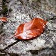 Beech leaf — Stock Photo