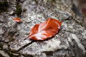 Bukové listí — Stock fotografie