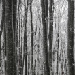 Beech winter forest — Stock Photo