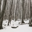 Stock Photo: Beech winter forest