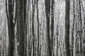 冬のブナの森林 — ストック写真