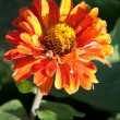 Orange zinnia — Stock Photo
