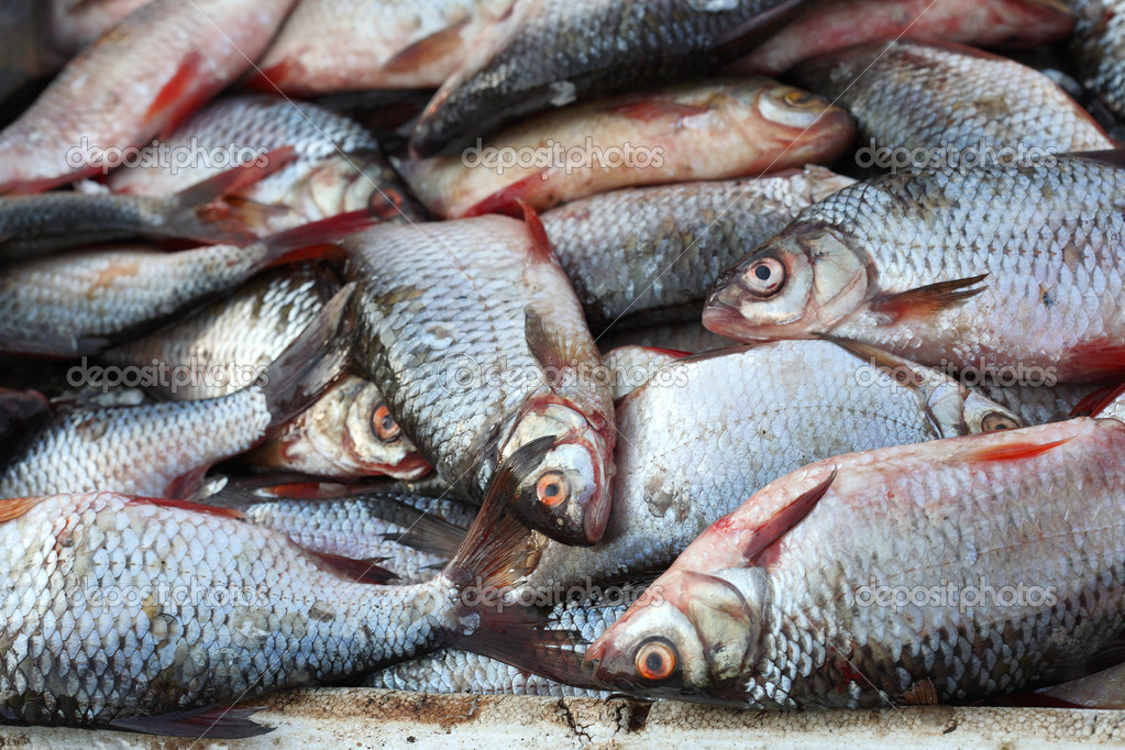 Much fresh river fish stock photo lenorlux 4117704 for How much does it cost to buy a fishing license
